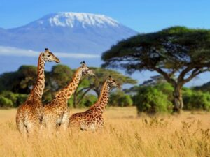 three-giraffe-on-kilimanjaro-mount-background-2021-04-02-19-37-43-utc (Custom)-min (Custom)